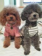 犬服Nico-Qun☆チャコ&シルバのトイプーライフ
