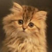 elePress [エルプレス] ペルシャ猫♀エルさん