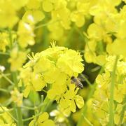 蜂蜜と免疫