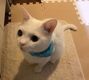 事故にあった白猫シロン