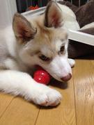 ハスキー犬 ターちゃん港町通信