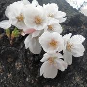 世界にひとつの花