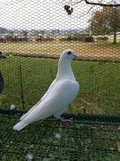 白いレース鳩blog