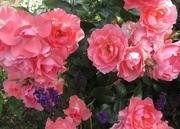 バラと猫とブルーベリーの庭