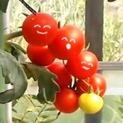 出雲自然栽培リンゴ日記