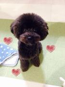 トイプードル・ルイの育犬日記