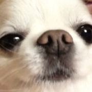ディオのブログ〜チワワスタイルの看板犬〜