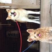 秋田犬ドンちゃんとミックス犬ジョイ君ののんびり毎日