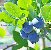 Halu Garden*