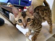 ベンガル猫Sheryl & Ranka