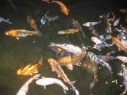 錦鯉飼育、薪集めとたまに釣りと山菜採りに出発!