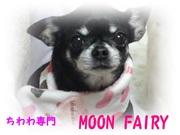ちわわンはうすMegu、MOON FAIRY犬舎の仔犬情報