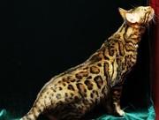 ベンガル猫は素敵 ベルアンジュ