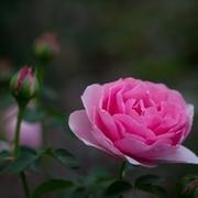 暁に咲く幻の花