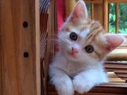 マンチカン猫ブリーダー:まんちの樹