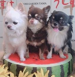 LOVEチワワ♪りん・ココ&ウミ(元保護犬)の紹介