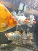 大阪金魚工務店