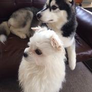 ハスキーとMix犬の犬日和