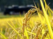 玄米パワーと免疫力