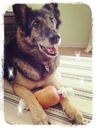 老犬シェパードの笑える介護生活