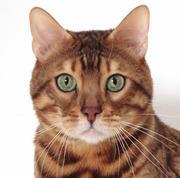 ベンガル猫ベンガル日記