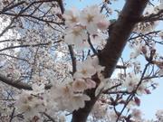 ちょっぱぁ桜日和
