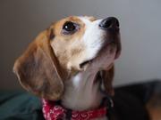 おっとりビーグル犬 ハナのブログ