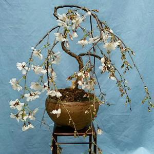 稲毛古典植物研究会