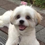 mix犬☆マルシーズー☆小雪のHappy Life