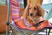 短足犬とんすけと、おとちゃんおかちゃんのほほん日記