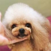winston poodle