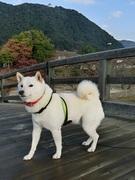 白柴犬爛丸の旅