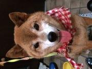 柴犬マロンとうめとキラキラ雑貨