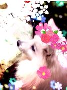 """日本スピッツDiary """"くぅちゃんのおもちゃ箱"""""""