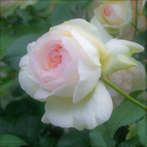 ホワイトガーデンに憧れて…白系バラと宿根草で庭づくりby白庭