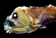 深海魚・深海生物グッズ専門店 深海屋BLOG
