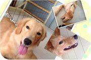 ゴールデンレトリバー nanaママのブログ NANA色日記