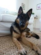 Roxy ジャーマンシェパード犬と暮らす - バーレーン