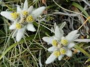 スイスの花