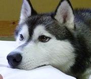 ハスキー犬JIRO(シニア)