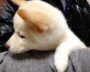 柴犬「ぽこ」と白柴「くり」