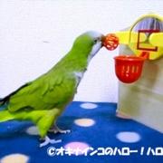 オキナインコのハロー!ハロちゃん♪
