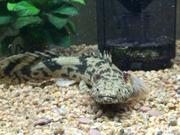 古代魚飼育と熱帯魚情報