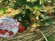 大学生による本気イチゴ栽培