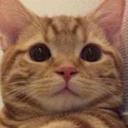 FIP-猫伝染性腹膜炎-と闘うマンチカン