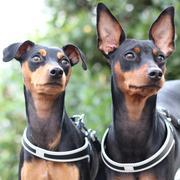 ミニピン『 hana 』と『fuku』 のほほん育犬日記