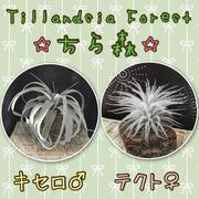 Tillandsia Forest