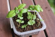 バジルと大葉(青じそ)の栽培(育て方)とレシピ