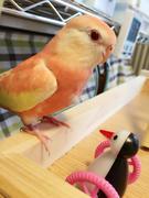 ベーチェンコ&〜鳥のサプリ〜とりぷり