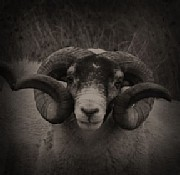 Black Face Sheep's Photolog